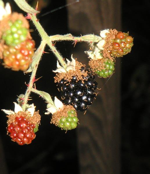 Early August Blackberries